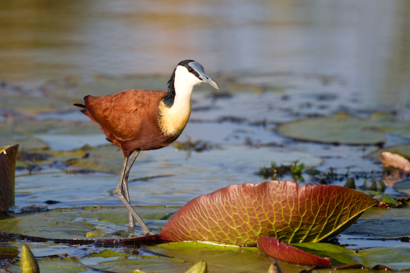 African jacanas are often seen on a boat cruise from Mongena Game Lodge
