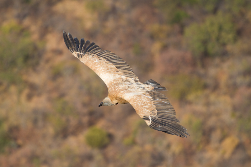 How often do you get to see a Cape vulture from above?