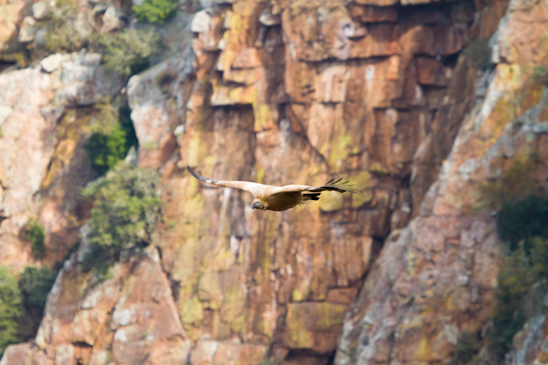 The Blouberg Cape vulture colony is one of the largest in the world.