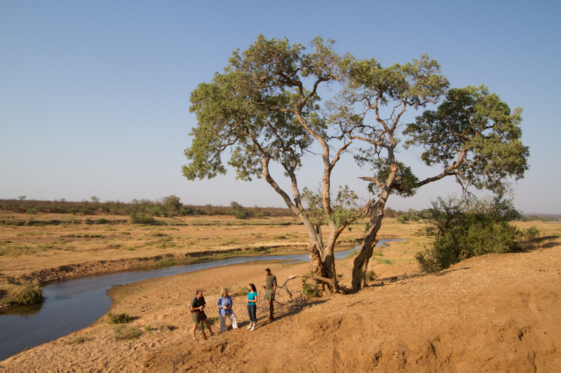 A massive apple-leaf tree on the bank of the Letaba River