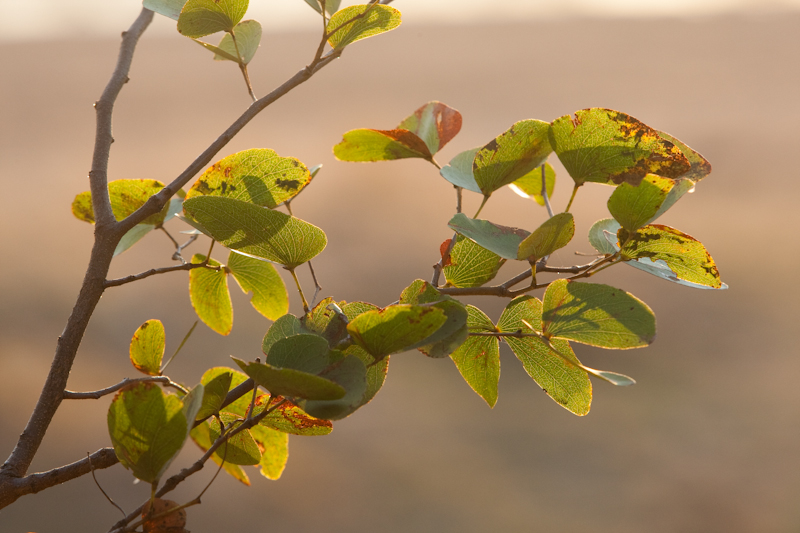 Mopane leaves are best photographed in back light
