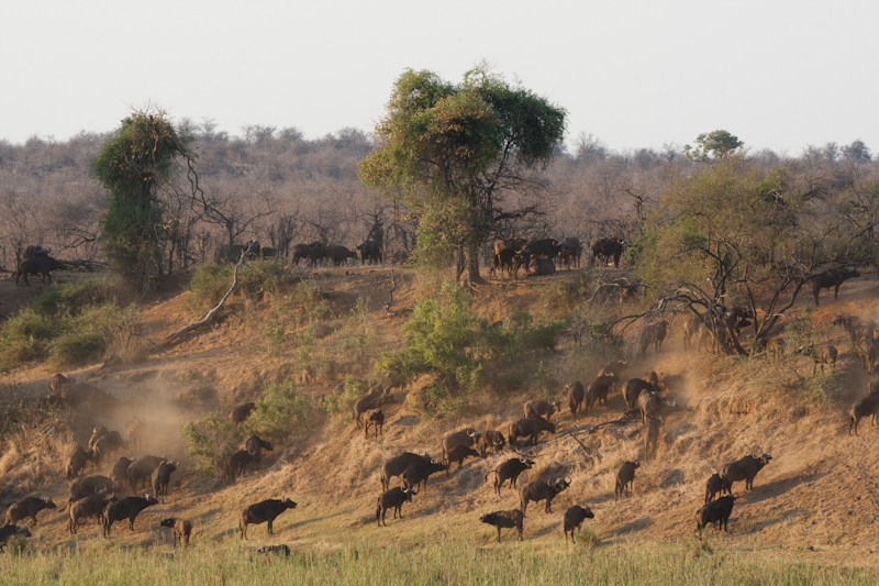 Buffalo are commonly seen along the edge of the river