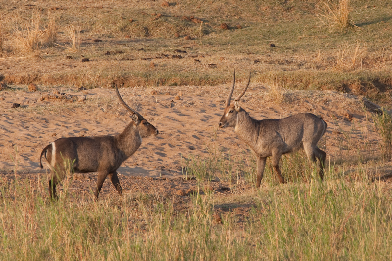Two waterbuck bulls face-off in golden morning light
