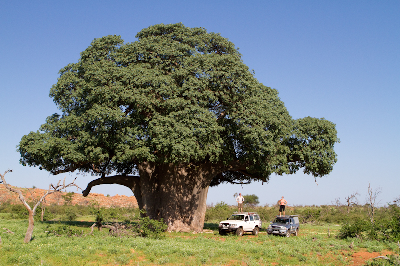 A colossal baobab tree dwarfs two 4x4's on the Tshugulu 4x4 ecotrail.