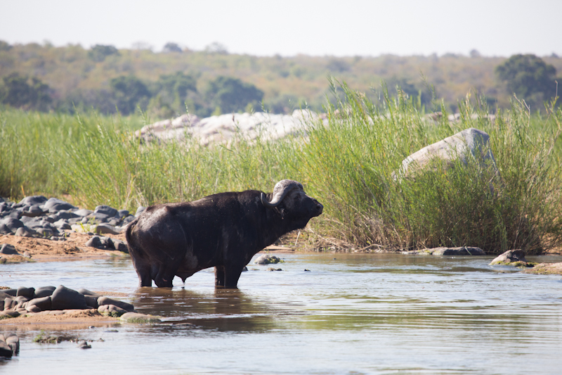 Lone buffalo bulls are often seen along the Letaba and Olifants rivers.