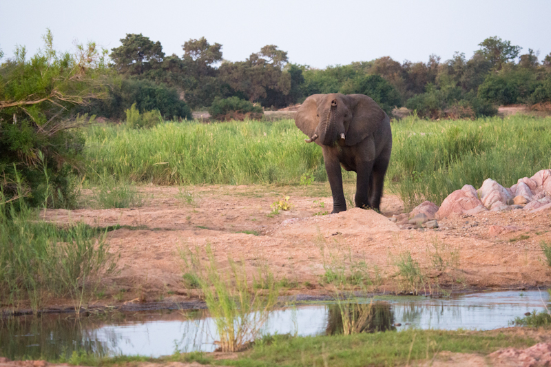 An elephant bull takes interest in our campsite next to the Letaba River.