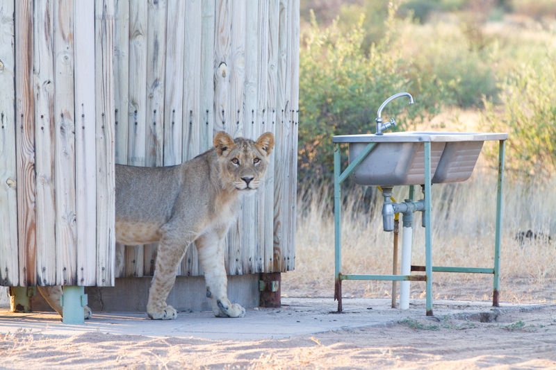 A sub-adult lion investigates the long drop toilet at Lesholoago no. 2.