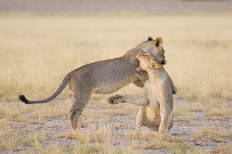 Two lion cubs test their strength on one of the pans.