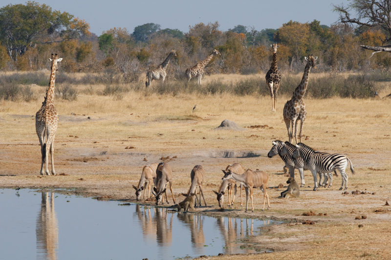 Nyamandhlovu Platform not only attracts great numbers of animals, but also many different species.