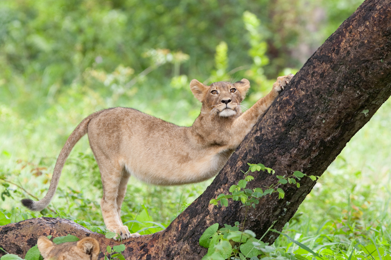 A lion cub stretches against a tree near Main Camp in the east of Hwange.