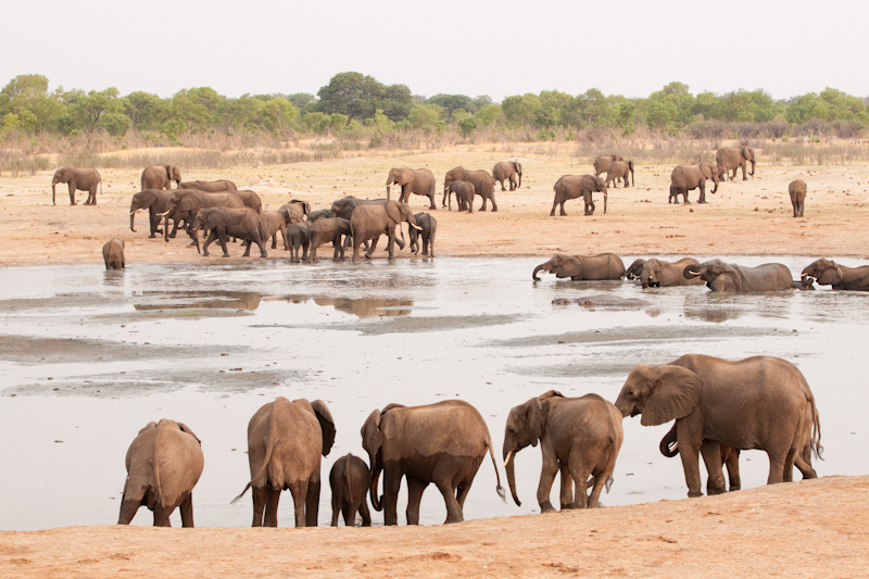 During the late dry season you can expect to see hundreds of elephants every day.