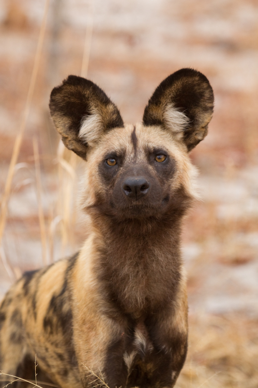 Wild dogs are most often seen in the vicinity of Main Camp.