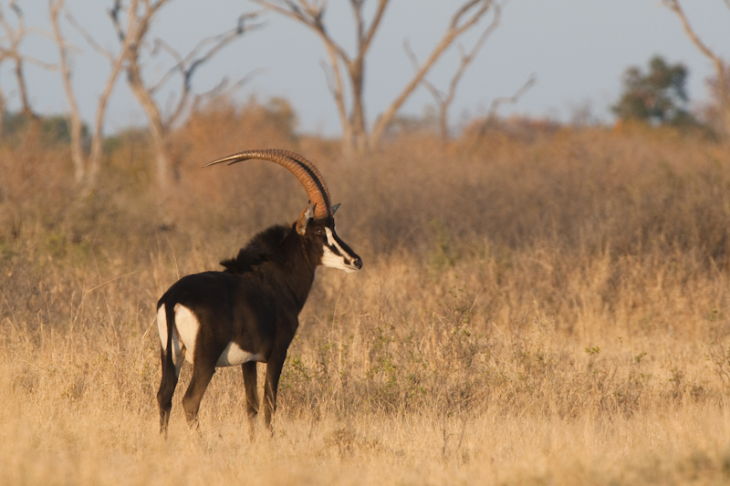 Majestic sable antelope are often seen between Pandamatenga and Robins Camp.