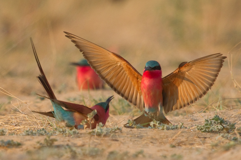 A Southern carmine bee-eater displays at the entrance of its hole.