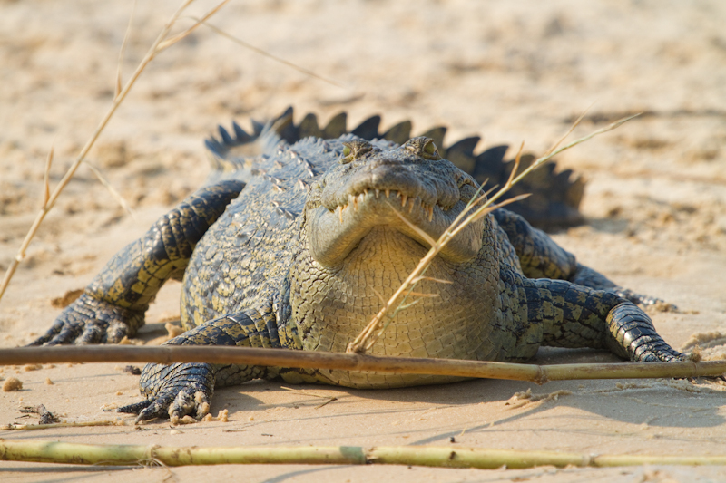 Crocodiles are very common on the sand banks next to the Zambezi.