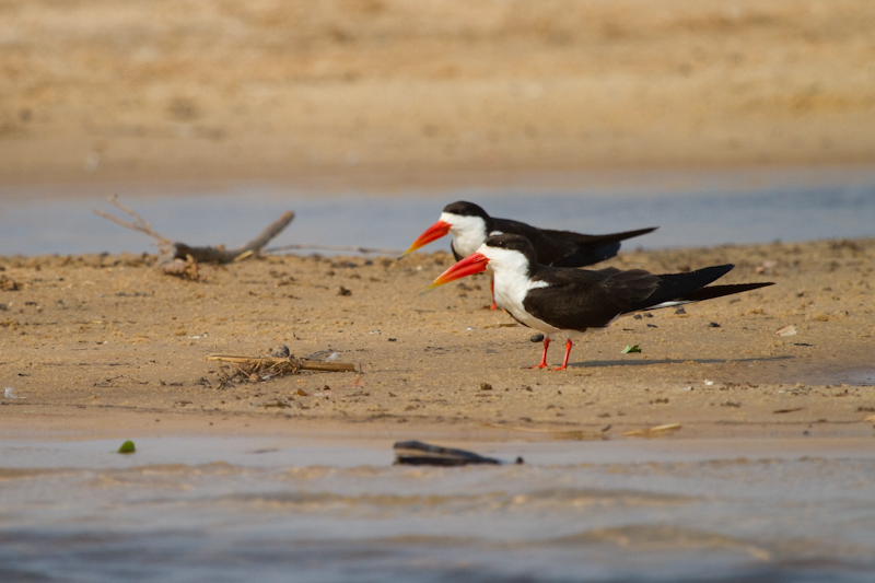 You'll be unfortunate not to see African skimmers during your visit.