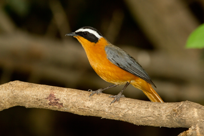 Look out for white-browed robin-chats in the camp's thickets.