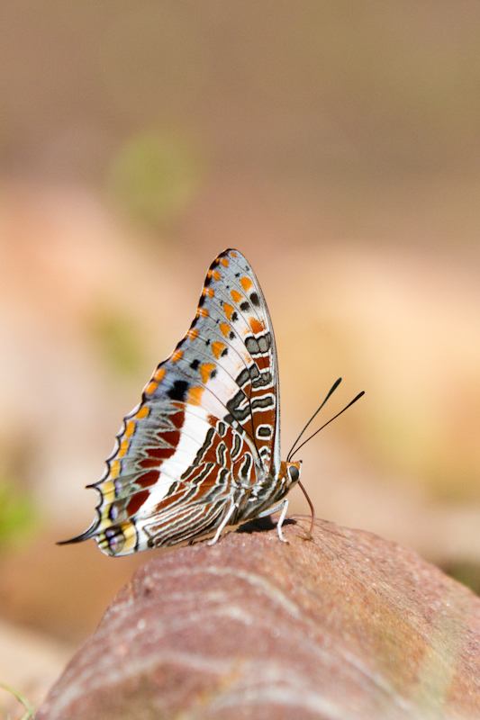 A male foxy Charaxes (or emperor) enjoying a bit of sunshine.