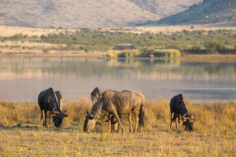 A small herd of blue wildebeest graze alongside the scenic Mankwe Dam.