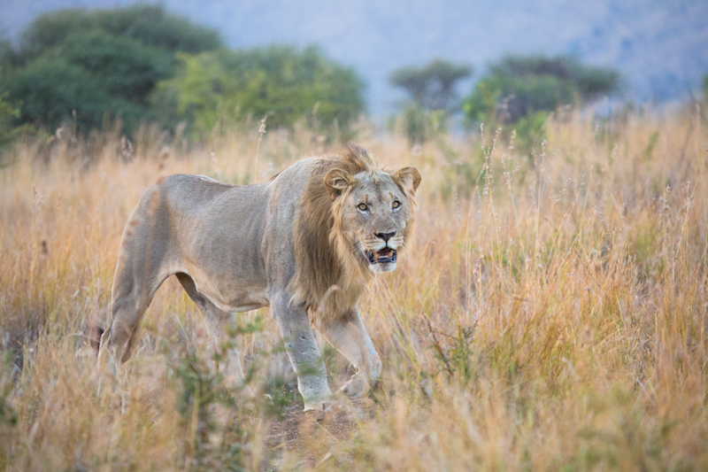 We have a young male lion to ourselves on the Korwe Link.