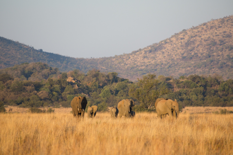 Elephants are common in Pilanesberg. Remember to treat them with respect.