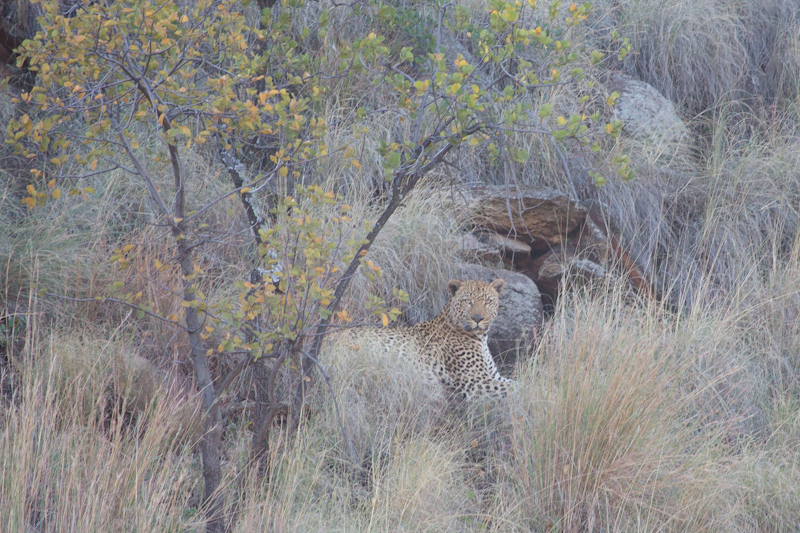 A shy leopard male stares at us from a rocky outcrop near Lenong Viewpoint.