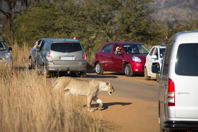 Traffic jams around Mankwe Dam are not uncommon, especially when lions are around.