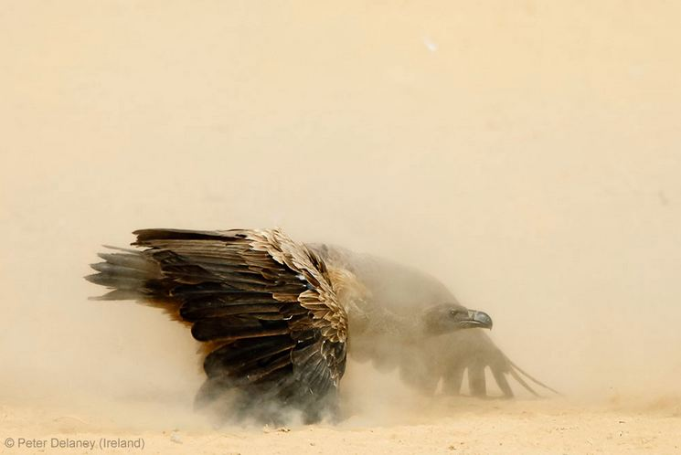 ANIMAL PORTRAITS - JOINT RUNNER-UP: 'Showdown' by Peter Delaney