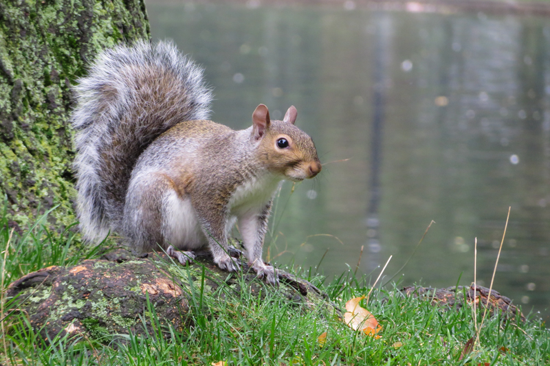Squirrels are common and extremely relaxed in Boston Common Park.