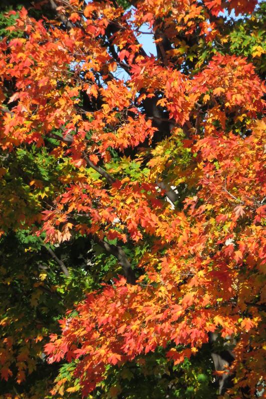 Spectacular autumn colours near Harvard Square.