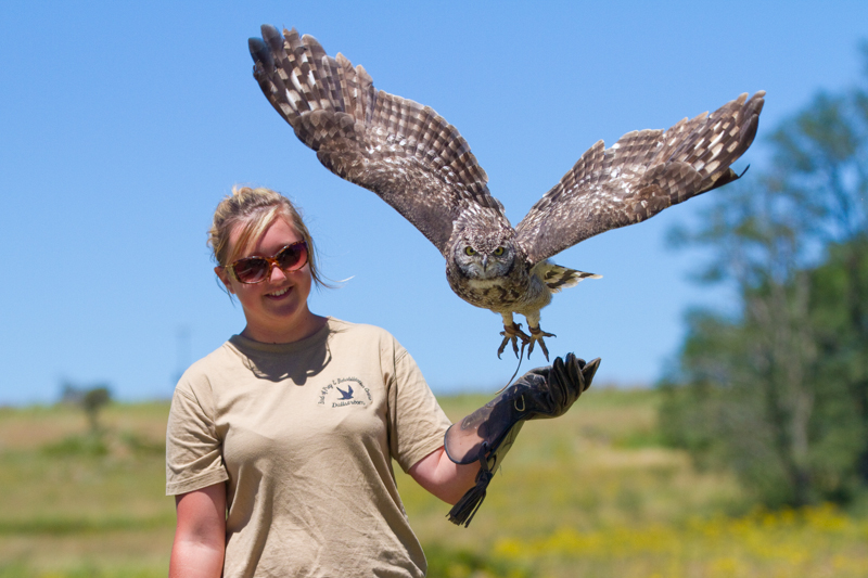 One of the Birds of Prey Centre's spotted eagle-owls in flight.
