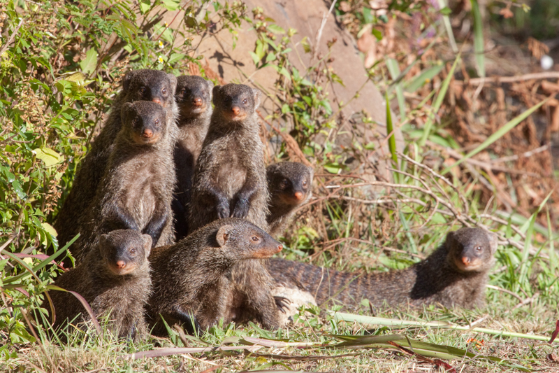 A family of curious banded mongooses in Ntshondwe Resort.