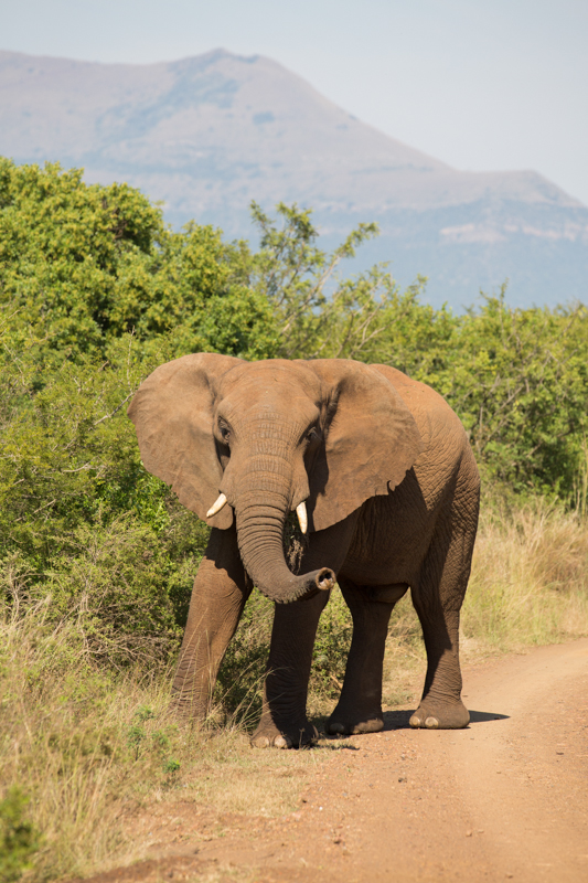 Elephants are seen relatively often in the denser western section of the park.