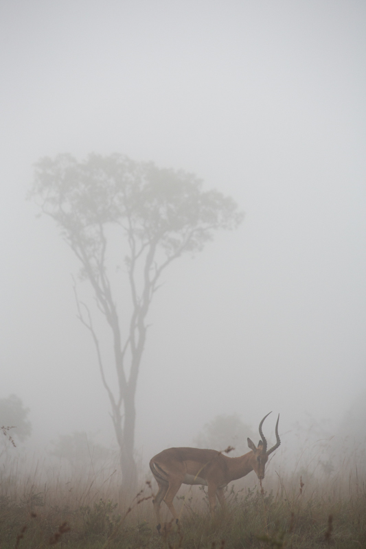 Misty mornings are great for dramatic silhouette photographs of animals.