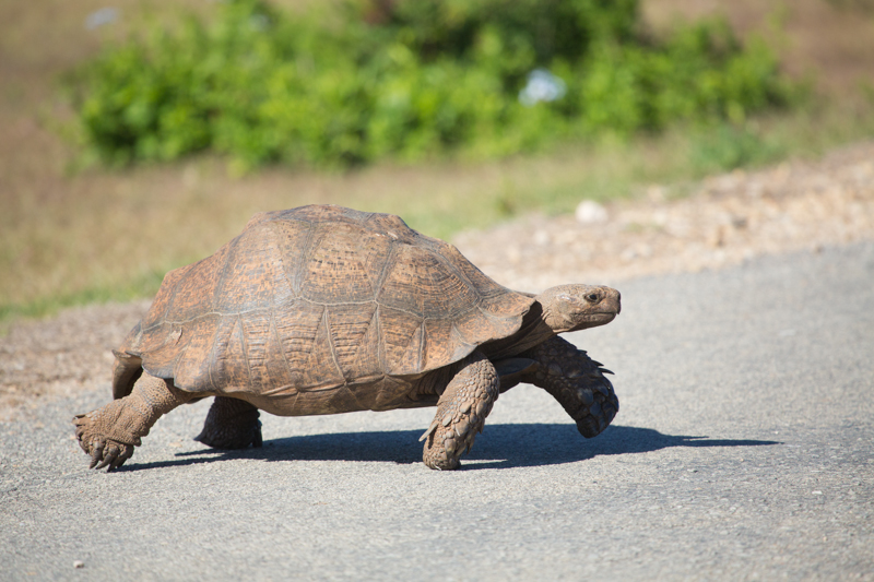 Another of the park's giants, an old leopard tortoise, crosses the road.