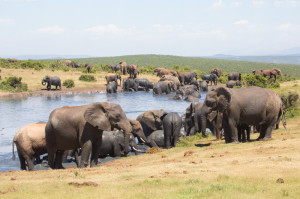 A massive herd of elephants gather at Rooidam to cool down before lunch.