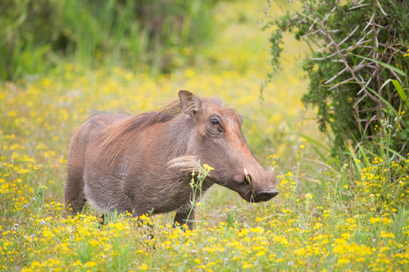 A healthy warthog enjoys the summer bloom.
