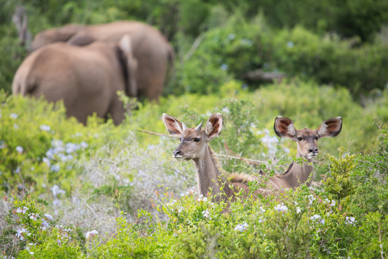 Kudus are frequently found alongside browsing elephants in the park's thickets.