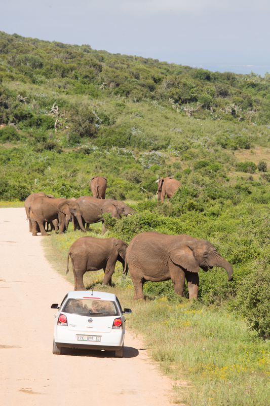 Addo's elephants are some of the most relaxed in South Africa.
