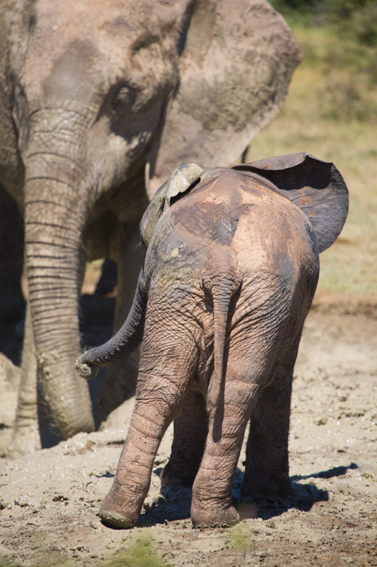 An elephant calf shows off a great variety of mud colours on its body.