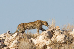 The leopard carefully searches for a snack between the rocks.