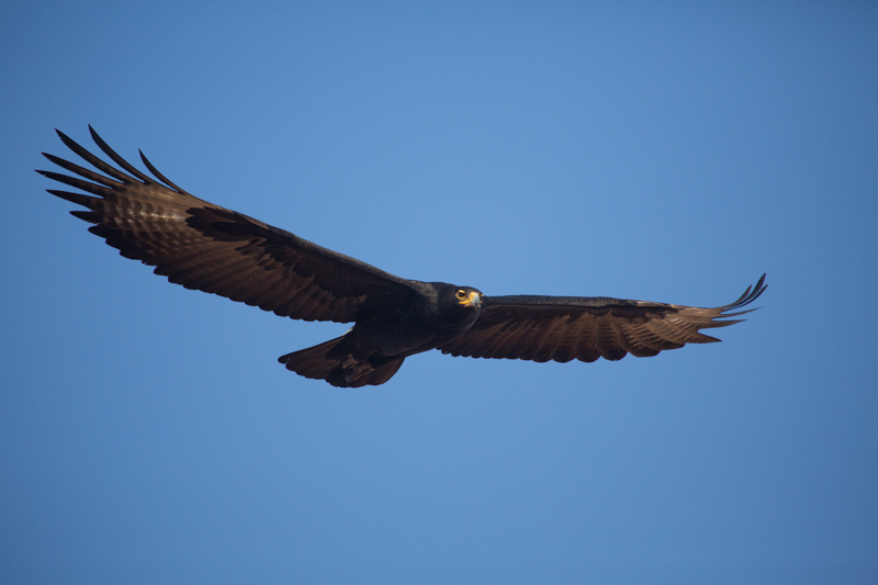 A relaxed Verreaux's eagle photographed from the top of the Chilojo Cliffs.
