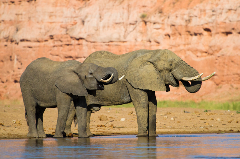 Bull elephants can often be found drinking along the riverbeds late in the afternoon.