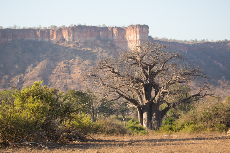 A number of gigantic baobab trees grow in the valley below the cliffs.