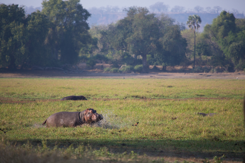 A hippo runs into one of Gonarezhou's stunning seasonal pans.