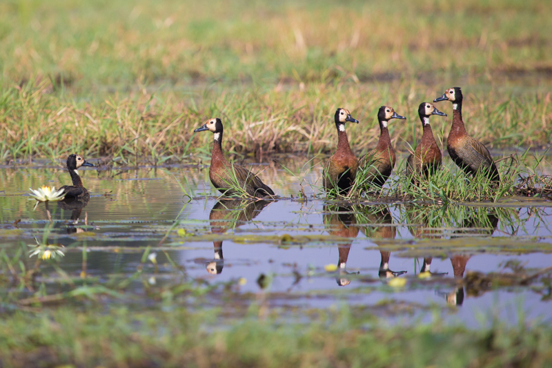 White-faced whistling-ducks are common at the edge of the seasonal pans.
