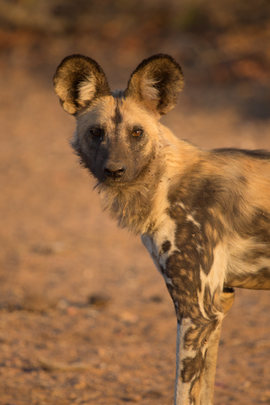 Wild dogs are often seen in the vicinity of Mabalauta in the south of the reserve.