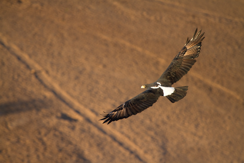 A Verreaux's eagle soars above a dry riverbed next to Eagle Rock.