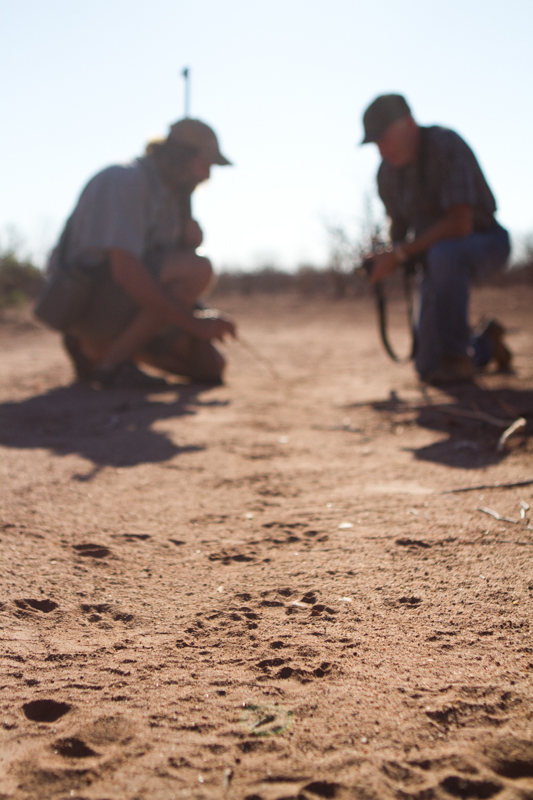Fresh lion tracks are a common sight on a Tuli Wilderness hike.