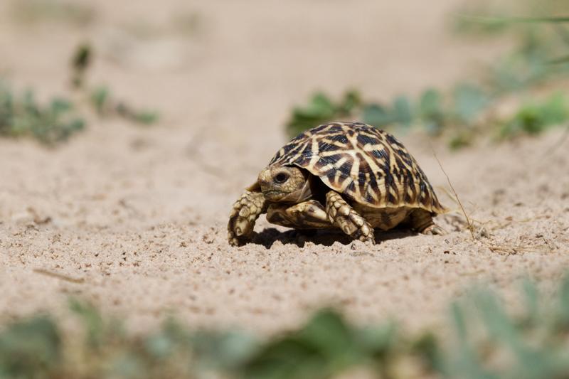 A tiny Kalahari tented tortoise crosses a sandy two-track.